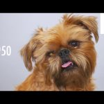 100 Years of Brussels Griffon Beauty in 60 Seconds