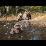 EXCLUSIVE: 'Bear Bathtub' Caught on Camera in Yellowstone | National Geographic
