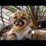 Cute Mountain Lion Kittens | National Geographic