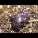 This Adorable Bobtail Squid Is a Master of Disguise | National Geographic